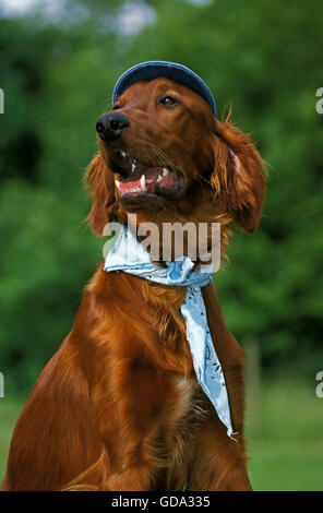 Irish Setter or Red Setter, Disguised Dog - Stock Photo