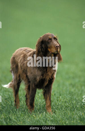 Picardy Spaniel Dog on Grass - Stock Photo