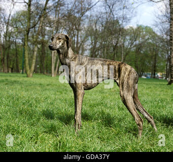 Sloughi Dog on Grass - Stock Photo