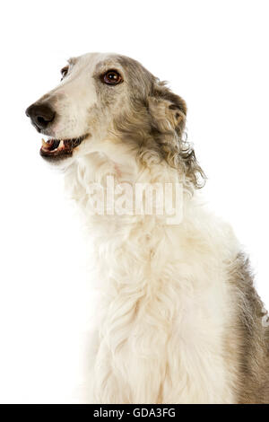 Borzoi Dog or Russian Wolfhound, Portrait of Adult against White Background - Stock Photo