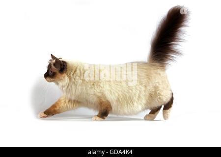 Chocolate Birmanese Domestic Cat, Adult walking against White Background - Stock Photo