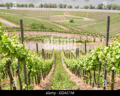 Germany, Rhineland-Palatinate, Kröv, On the Mosel steep path, vineyards on the Mosel steep path, rows of vineyards - Stock Photo