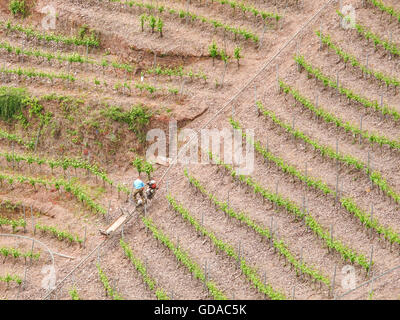 Germany, Rhineland-Palatinate, Bremm, On the Mosel steep path, Workers in the vineyards, Vineyards in the Steilhang - Stock Photo
