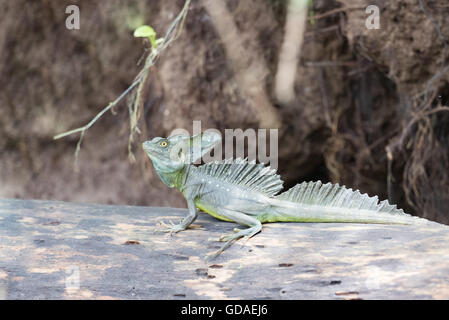 Costa Rica, Limón, Tortuguero, Tortuguero National Park, Basiliscus plumifrons, which is a large Central American - Stock Photo