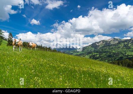 Simmentaler Fleckvieh cows (Bos taurus) on a mountain pasture in Switzerland. - Stock Photo
