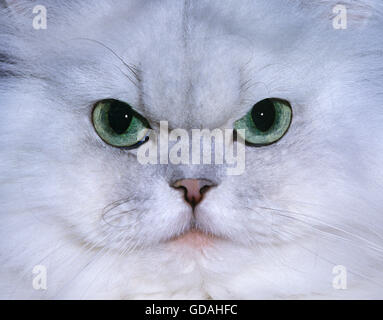Chinchilla Persian Domestic Cat with Green Eyes,  Close up of Head - Stock Photo