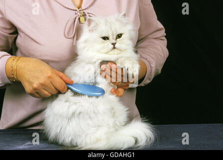 Woman Grooming a White Persian Domestic Cat, Brush - Stock Photo