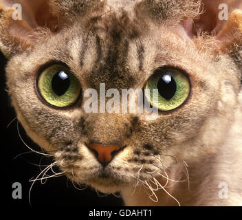 Devon Rex Domestic Cat, Portrait of Adult - Stock Photo