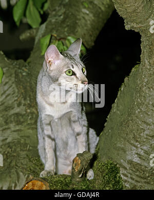 Oriental Domestic Cat in Tree - Stock Photo