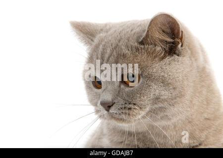 LILAC BRITISH SHORTHAIR CAT, HEAD OF ADULT FEMALE - Stock Photo