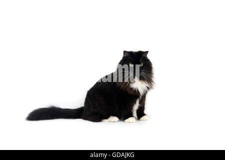 Black and White Siberian Domestic Cat, Female - Stock Photo