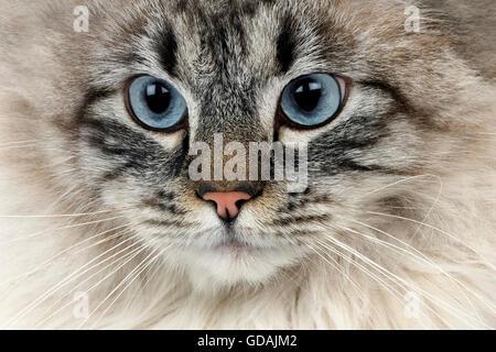 Seal Tabby Point Neva Masquerade Siberian Domestic Cat, Male - Stock Photo