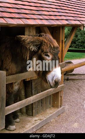 Poitou Domestic Donkey or The Baudet du Poitou, a French Breed - Stock Photo