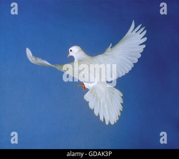 White Dove, Adult in Flight against Blue Sky - Stock Photo