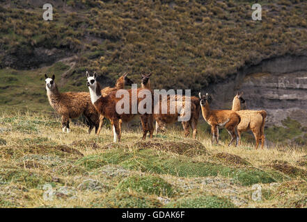 LLAMA lama glama, ADULTS WITH YOUNGS, ECUADOR - Stock Photo