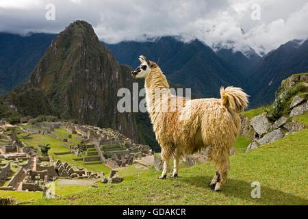 LLAMA lama glama AT MACHU PICCHU, THE LOST CITY OF INCAS, PERU - Stock Photo