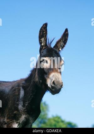 Domestic Donkey, Adult, West of France - Stock Photo