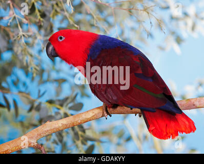 ECLECTUS PARROT eclectus roratus, FEMALE ON BRANCH - Stock Photo