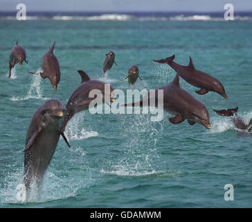 Bottlenose Dolphins, tursiops truncatus, Leaping, Honduras - Stock Photo