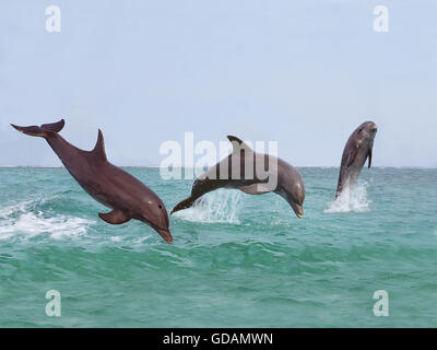 BOTTLENOSE DOLPHIN tursiops truncatus, GROUP LEAPING OUT OF THE WATER, HONDURAS - Stock Photo