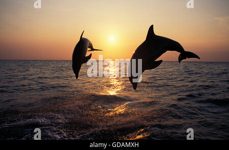 Bottlenose Dolphin, tursiops truncatus, Adults Leaping at Sunset, Honduras - Stock Photo