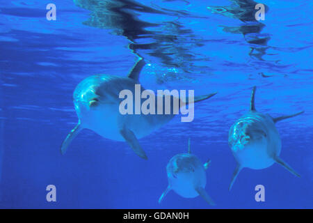 Bottlenose Dolphin, tursiops truncatus, Group, Underwater View - Stock Photo