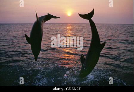 Bottlenose Dolphin, tursiops truncatus, Adults jumping at Sunset, Coast near Honduras - Stock Photo