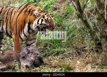Siberian Tiger, panthera tigris altaica, Adult with a Kill, a Wild boar, Snarling in Defensive Posture - Stock Photo