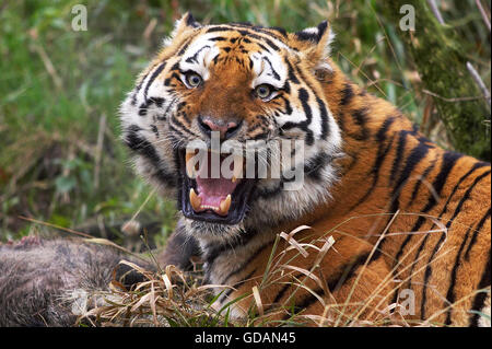 Siberian Tiger, panthera tigris altaica, Adult with a Kill, Snarling in Defensive Posture - Stock Photo