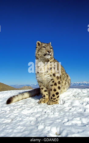 Snow Leopard or Ounce, uncia uncia, Adult on Snow - Stock Photo