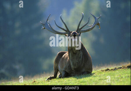 RED DEER cervus elaphus, STAG BELLING DURING THE RUT, FRANCE - Stock Photo