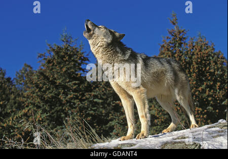 NORTH AMERICAN GREY WOLF canis lupus occidentalis, ADULT HOWLING ON ROCK, CANADA - Stock Photo