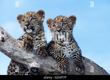 LEOPARD panthera pardus, PORTRAIT OF CUB ON BRANCH - Stock Photo