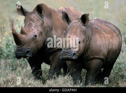 WHITE RHINOCEROS ceratotherium simum, MOTHER WITH YOUNG - Stock Photo