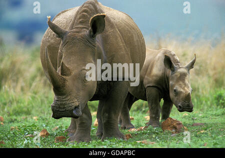 White Rhinoceros, ceratotherium simum, Mother with Calf, South Africa - Stock Photo