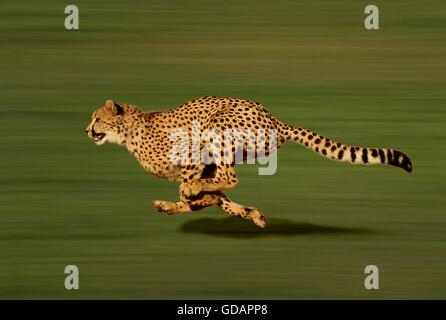 Cheetah, acinonyx jubatus, running - Stock Photo