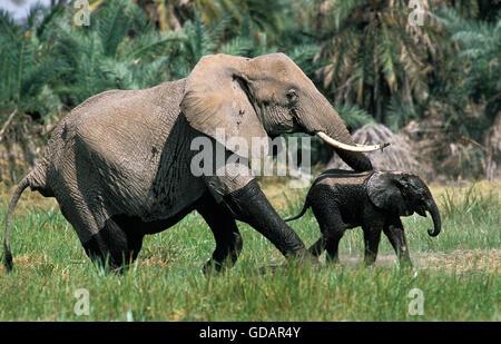 African Elephant, loxodonta africana, Female with Calf emerging from Swamp, Amboseli Park in Kenya - Stock Photo