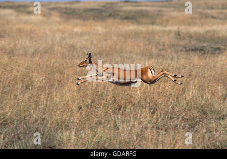 Impala, aepyceros melampus, Female running through Savannah, Masai Mara Park in Kenya - Stock Photo