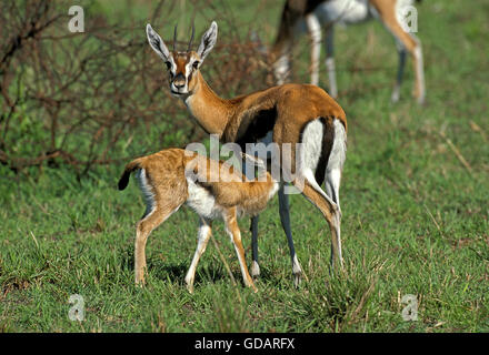 Thomson's gazelle (Gazella thomsonii) mother and young ...