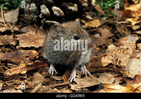 Bank Vole, clethrionomys glareolus, Adult on Fallen Leaves