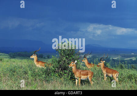 Impala, aepyceros melampus, Group of Males, Masai Mara Park in Kenya - Stock Photo