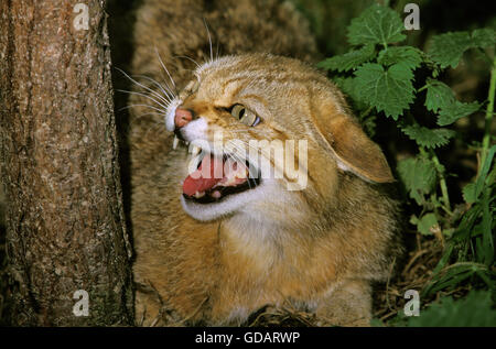 European Wildcat, felis silvestris, Portrait of Adult Snarling - Stock Photo