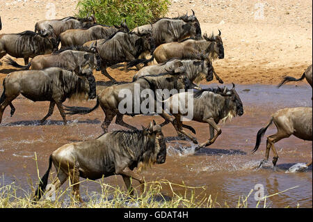 Blue Wildebeest, connochaetes taurinus, Herd Crossing River during Migration, Masai Mara Park in Kenya - Stock Photo