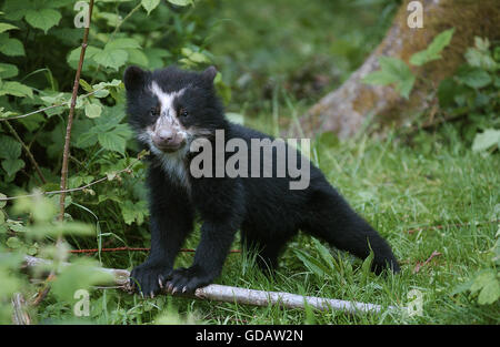 Spectacled Bear, tremarctos ornatus, Young on Grass - Stock Photo