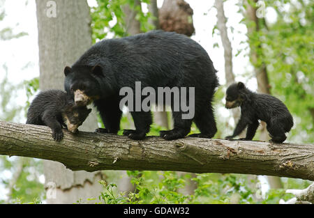 Spectacled Bear, tremarctos ornatus, Female with Cub - Stock Photo