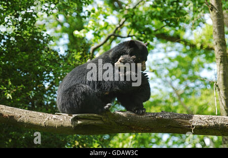 Spectacled Bear, tremarctos ornatus, Female with Young on Branch - Stock Photo