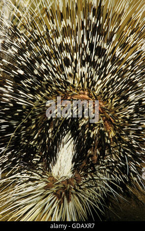 Crested Porcupine, hystrix cristata, Adult, Close up of Tail - Stock Photo