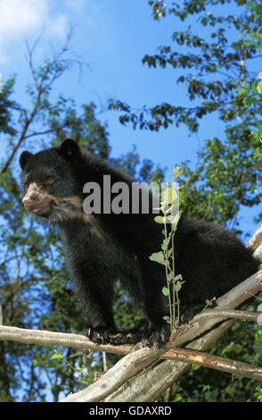 Spectacled Bear, tremarctos ornatus, Adult on Branch - Stock Photo