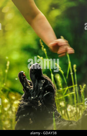 beautiful black dog playing with its owner in nature in green and lush grass - Stock Photo