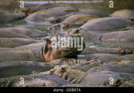Hippopotamus, hippopotamus amphibius, Large Group at Virunga Park in Congo